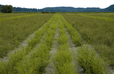 Hybrid Beet Production